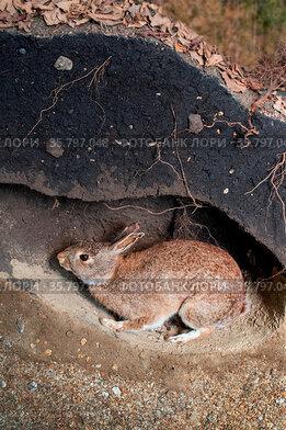 Scene of a wild rabbit in a burrow. Oryctolagus cuniculus