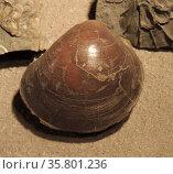 Plagiostoma giganteum. A clam shell, Lower Lias, Filton, Gloucestershire. Редакционное фото, агентство World History Archive / Фотобанк Лори