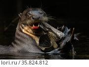 Giant river otter (Pteronura brasiliensis) eating a catfish. Yasuni National Park, Orellana, Ecuador. Редакционное фото, фотограф Lucas Bustamante / Nature Picture Library / Фотобанк Лори