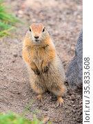 Close up portrait of curious arctic ground squirrel, animal stands... Стоковое фото, фотограф Zoonar.com/Alexander A. Piragis / age Fotostock / Фотобанк Лори