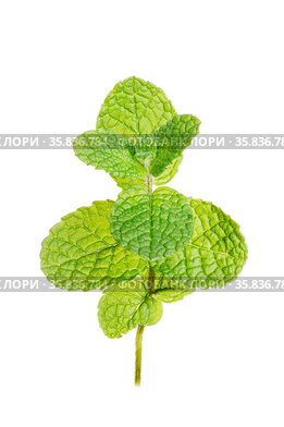 Pepermint isolated on white background. Mentha rotundifolia