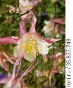 Цветущая аквилегия (лат. Aquilegia) Стоковое фото, фотограф lana1501 / Фотобанк Лори
