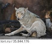 Eurasian Wolf (Canis lupus), male, lies. Стоковое фото, фотограф Валерия Попова / Фотобанк Лори
