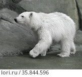 Young polar bear (Ursus maritimus). Female (focus on face) Стоковое фото, фотограф Валерия Попова / Фотобанк Лори