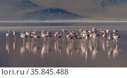 Andean flamingo (Phoenicoparrus andinus) flock standing in water, Laguna Colorado, Eduardo Avaroa Andean Fauna National Reserve, altiplano of Bolivia. March. Стоковое фото, фотограф John Shaw / Nature Picture Library / Фотобанк Лори
