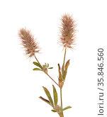 Flora of Gran Canaria - Trifolium arvense harefoot clover. Стоковое фото, фотограф Tamara Kulikova / Фотобанк Лори