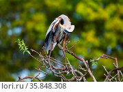 Great Blue Heron (Ardea herodias) preening its feathers. It is the... Стоковое фото, фотограф Zoonar.com/Don Mammoser / age Fotostock / Фотобанк Лори