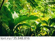Jungle with tropical plants and green vegetation. Стоковое фото, фотограф Zoonar.com/Polarpx / age Fotostock / Фотобанк Лори