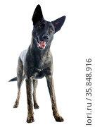 Portrait of an holland shepherd in a studio. Стоковое фото, фотограф Zoonar.com/BONZAMI Emmanuelle / age Fotostock / Фотобанк Лори