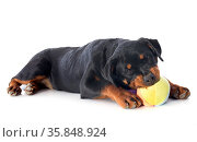 Portrait of a playing puppy rottweiler in front of white background. Стоковое фото, фотограф Zoonar.com/Emmanuelle BONZAMI / age Fotostock / Фотобанк Лори