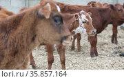 Cute young calves in a farm cowshed. Newborn baby cow. Стоковое видео, видеограф Алексей Кузнецов / Фотобанк Лори