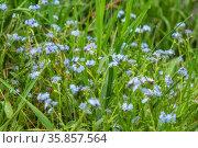 Forget me not - spring blue flowers. Стоковое фото, фотограф Михаил Коханчиков / Фотобанк Лори