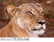 Kalahari-Löwin im Kgalagadi Transfrontier National Park, Südafrika... Стоковое фото, фотограф Zoonar.com/W. Woyke / age Fotostock / Фотобанк Лори