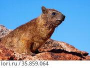Klippschliefer, Südafrika, Rock Dassie, South Africa, wildlife, Procavia... Стоковое фото, фотограф Zoonar.com/W. Woyke / age Fotostock / Фотобанк Лори