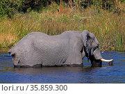 Afrikanischer Elefant (Loxodonta africana), badend, im Moremi Wildreservat... Стоковое фото, фотограф Zoonar.com/Wibke Woyke / age Fotostock / Фотобанк Лори