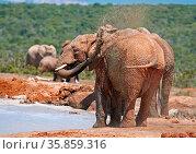 Badende Elefanten, Südafrika, bathing elephants, south africa, Loxodonta... Стоковое фото, фотограф Zoonar.com/W. Woyke / age Fotostock / Фотобанк Лори