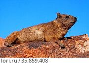 Klippschliefer, Südafrika, Rock Dassie, South Africa, wildlife. Стоковое фото, фотограф Zoonar.com/W. Woyke / age Fotostock / Фотобанк Лори