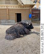 Як (Bos mutus) в Московском зоопарке. Стоковое фото, фотограф Мария Кылосова / Фотобанк Лори