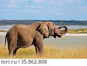 Elefant spritzt Schlamm, Etosha Nationalpark, Namibia, african elephant... Стоковое фото, фотограф Zoonar.com/W. Woyke / age Fotostock / Фотобанк Лори