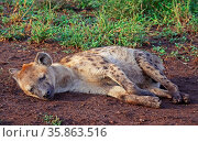 Schlafende Tüpfelhyäne, Krüger Nationalpark, Südafrica, hyena, south... Стоковое фото, фотограф Zoonar.com/W. Woyke / age Fotostock / Фотобанк Лори