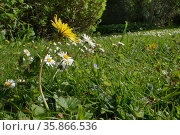 Dandelion (Taraxacum officinale) and Common daisies (Bellis perennis) flowering on a garden lawn left unmown to allow wild flowers to bloom to support pollinating insects, Wiltshire, UK, May. Стоковое фото, фотограф Nick Upton / Nature Picture Library / Фотобанк Лори