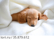 Puppy sleeping. Стоковое фото, агентство Ingram Publishing / Фотобанк Лори