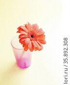 Gerbera daisy. Стоковое фото, агентство Ingram Publishing / Фотобанк Лори