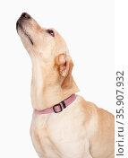 Dog Looking Up, studio shot . Стоковое фото, агентство Ingram Publishing / Фотобанк Лори