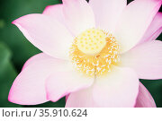 Close-up of pink lotus flower on a lake in China . Стоковое фото, агентство Ingram Publishing / Фотобанк Лори