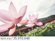 Close-up of two pink lotus flowers on a lake, China . Стоковое фото, агентство Ingram Publishing / Фотобанк Лори