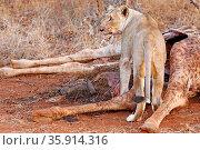 Löwin am Kadaver einer getöteten Giraffe, Südafrika - lioness at ... Стоковое фото, фотограф Zoonar.com/WIBKE WOYKE / age Fotostock / Фотобанк Лори