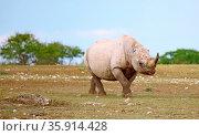 Spitzmaulnashorn ohne Ohren, Etosha, Namibia, black rhinoceros without... Стоковое фото, фотограф Zoonar.com/W. Woyke / age Fotostock / Фотобанк Лори