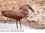 Hammerkopf fängt Frosch, Kruger NP, Südafrika, Hamerkop catching ... Стоковое фото, фотограф Zoonar.com/WIBKE WOYKE / age Fotostock / Фотобанк Лори