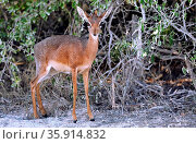 Damara-Dik-Dik, Etosha-Nationalpark, Namibia, (Madoqua damarensis... Стоковое фото, фотограф Zoonar.com/WIBKE WOYKE / age Fotostock / Фотобанк Лори
