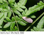 Forest moth on the leaves of a shrub. Стоковое фото, фотограф Сергей Фролов / Фотобанк Лори