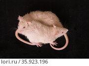 Two little rats. Стоковое фото, фотограф Argument / Фотобанк Лори