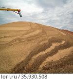 A large pile of sorghum grain drying in western Kansas in early November... Стоковое фото, фотограф Zoonar.com/Marek Uliasz / easy Fotostock / Фотобанк Лори