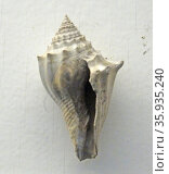 Athleta (Volutospina) spinosus (linne) Редакционное фото, агентство World History Archive / Фотобанк Лори