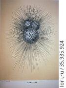The Foraminifera. Редакционное фото, агентство World History Archive / Фотобанк Лори