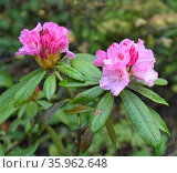 "Rhododendron hybridum ""Pearce's American Beauty"" Стоковое фото, фотограф Валерия Попова / Фотобанк Лори"