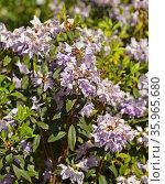 Rhododendron impeditum, species of flowering plant in family Ericaceae. Стоковое фото, фотограф Валерия Попова / Фотобанк Лори