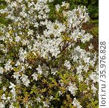 Shrub of Rhododendron (dauricum) April Reign in spring. Стоковое фото, фотограф Валерия Попова / Фотобанк Лори