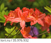 Rhododendron Japanese Salmon (Rhododendron molle subsp. japonicum) in spring. Стоковое фото, фотограф Валерия Попова / Фотобанк Лори