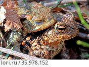 Paarung von Erdkröten, Laichwanderung. Стоковое фото, фотограф Zoonar.com/W. Woyke / age Fotostock / Фотобанк Лори