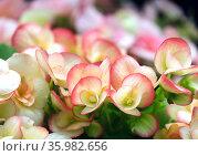 Beautiful pink flowers Begonia (Latin - Begonia) Стоковое фото, фотограф Irina Opachevsky / Фотобанк Лори