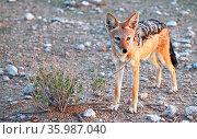 Schabrackenschakal, black-backed Jackal, Canis mesomelas, Namibia. Стоковое фото, фотограф Zoonar.com/W. Woyke / age Fotostock / Фотобанк Лори
