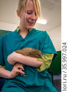 Carer with Rowi / Okarito brown kiwi (Apteryx rowi) chick, Department of Conservation Kiwi Rearing Facility, West Coast, New Zealand. February 2014. Стоковое фото, фотограф Tui De Roy / Nature Picture Library / Фотобанк Лори