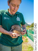 Ranger with Rowi / Okarito brown kiwi (Apteryx rowi) chick. These chicks held in outdoor pens where Department of Conservation rangers perform final health... Стоковое фото, фотограф Tui De Roy / Nature Picture Library / Фотобанк Лори