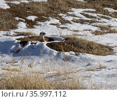 Black-footed ferret (Mustela nigripes) pauses after emerging from the Prairie dog burrow in the background as it selects the next mound to run to and investigate. Colorado, USA. January. Стоковое фото, фотограф Charlie Summers / Nature Picture Library / Фотобанк Лори