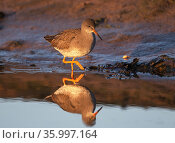 Common redshank (Tringa totanus) wading through a tidal pool in low winter sun. Holy Island / Lindisfarne, Northumberland, England, UK. November. Стоковое фото, фотограф Roger Powell / Nature Picture Library / Фотобанк Лори